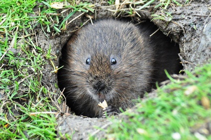Water Voles Find New Waterholes